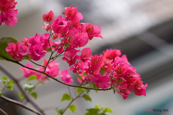 Mơ thấy hoa giấy